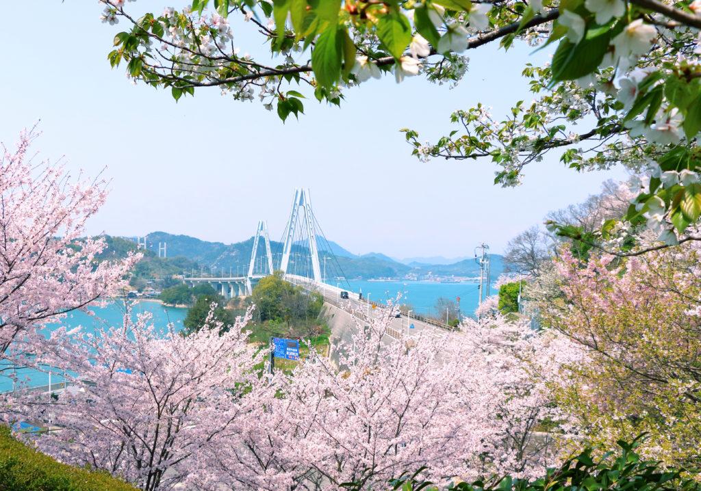 「満開の桜に映える」|小西 梅子さん(広島県尾道市)